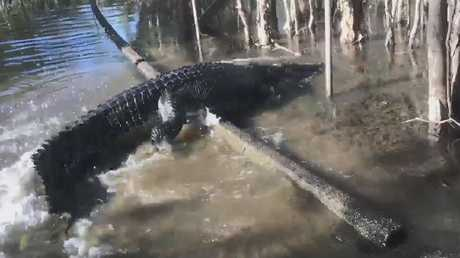 Blackie, the saltwater croc, takes a stroll down t