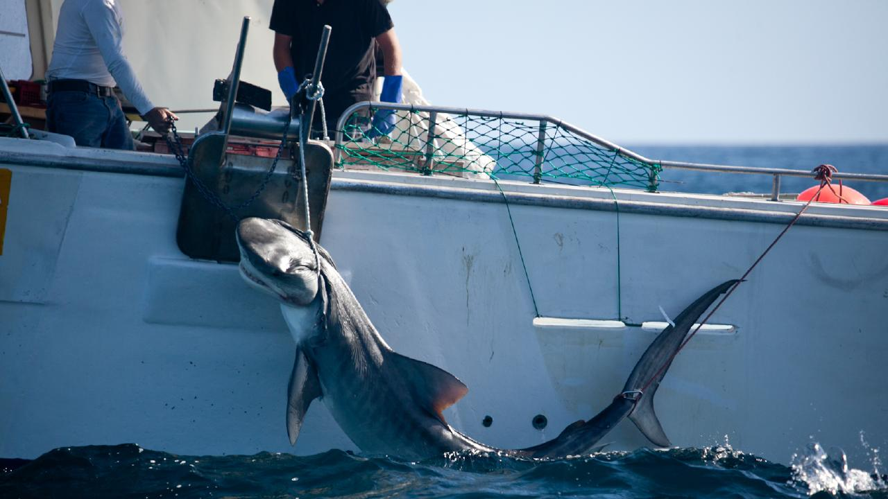 A tiger shark pulled up on the drum lines off the coast of Dunsborough. Credit: Animal Amnesty