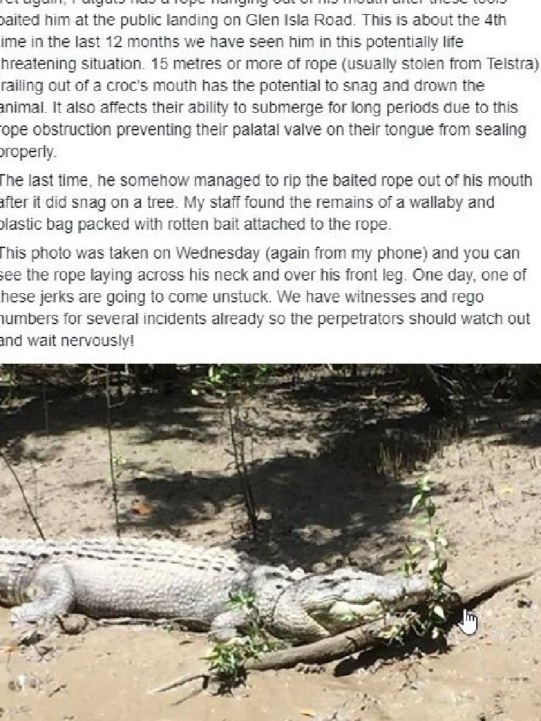 A screenshot of a Facebook post showing Fat Guts with rope around him. Fat Guts has now been removed from the wild after he became accustomed to people illegally feeding him. Photo: Whitsunday Crocodile Safari/Facebook