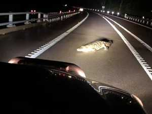 Crocodile crosses Bruce Highway