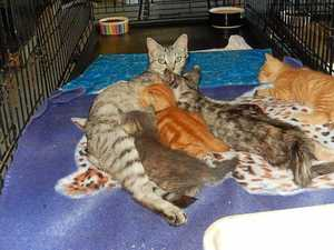 Rescued feline helps animal carers nurse abandoned kittens