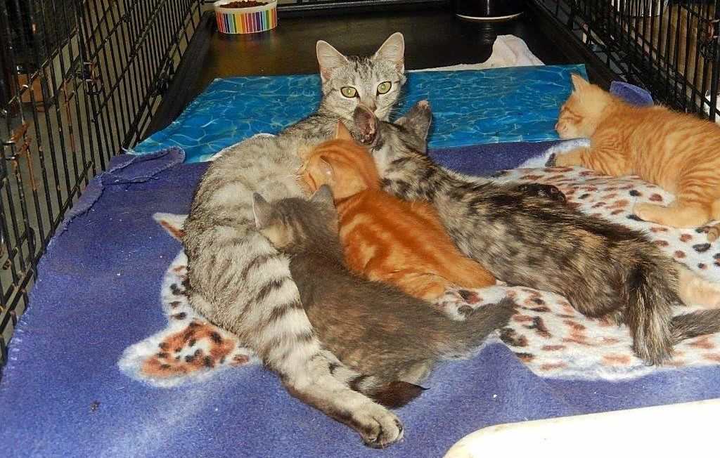 YOUNG MUM: Kalanie nursing four kittens at the Gladstone Animal Rescue Group's shelter.