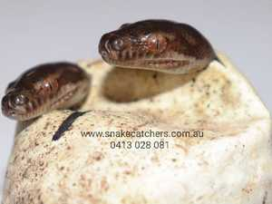 What's cuter than one snake hatchling? Twinsss