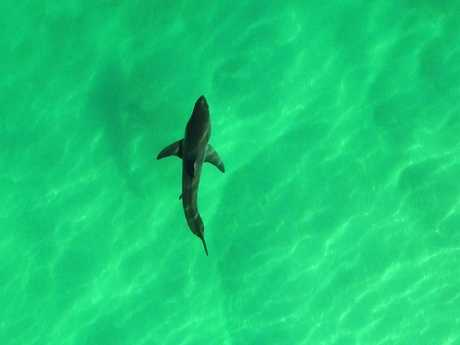 The Great White Shark was observed on the north coast of NSW. The image captured a drone used for research. Credit: Southern Cross University and NSW DPI.