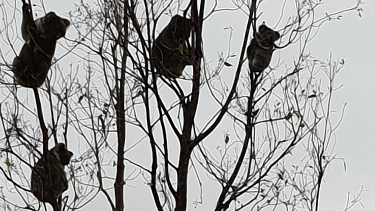 Koalas are struggling to find adequate food and shelter due to record land clearing, and face rapid extinction. Picture: Monaltrie Landcare