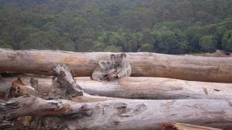 Landclearing leaves koalas without habitat and food.