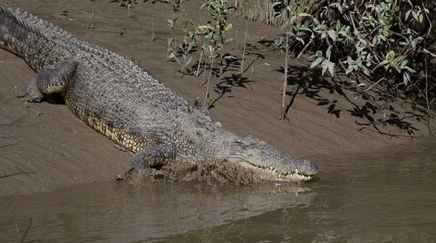 Fat guts the crocodile goes for a dip in the Proserpine River. PICTURE: WHITSUNDAY CROCODILE SAFARI