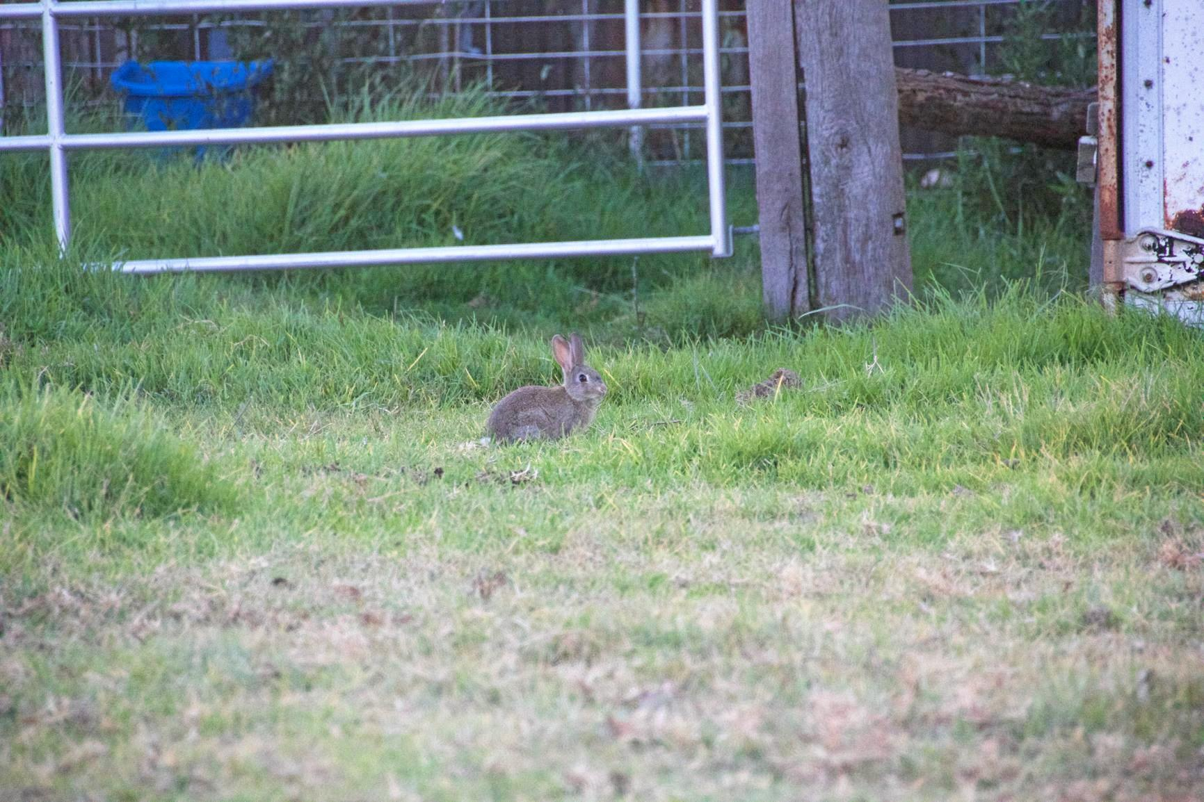 LOOK OUT: North Coast Local Land Services are warning rabbit owners to remain vigilant and vaccinate their pets against Rabbit Haemorrhagic Disease Virus.