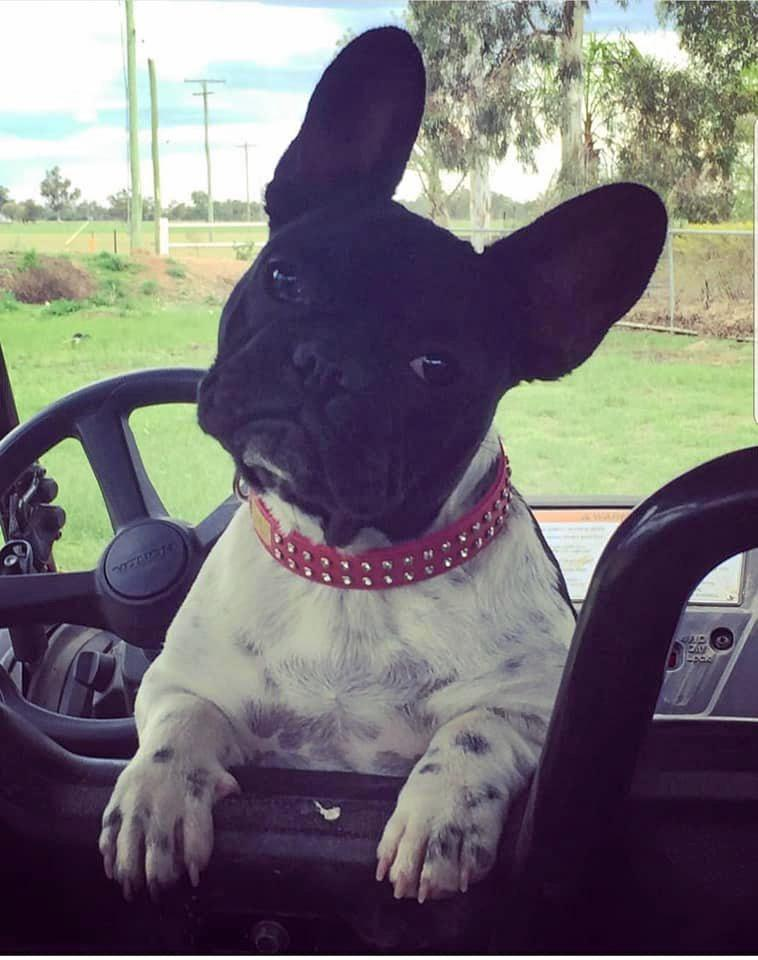 Jersey the French Bulldog has recently gone missing and her owners have turned to social media to try and find her.