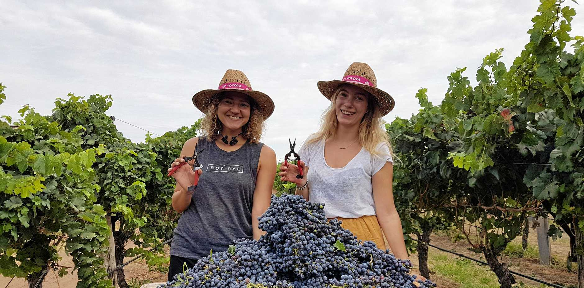 Backpackers Bridgette from New York and Joli from the Netherlands had a shot at grape picking.
