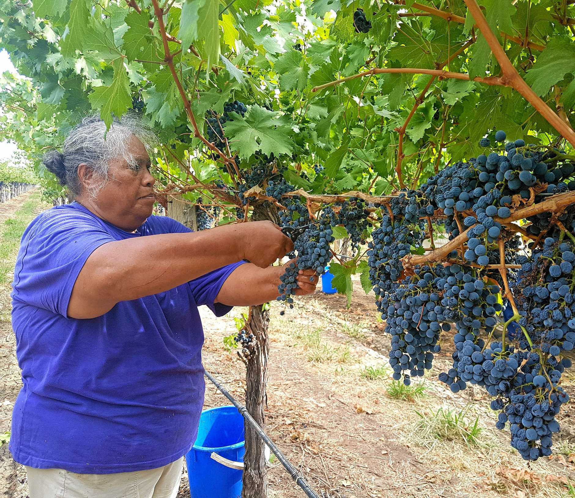 Regular picker Ana Foster helps with the port grape picking.