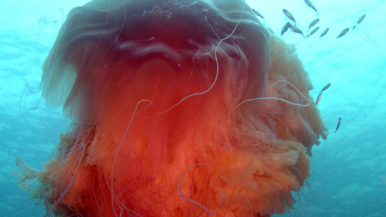 At almost a metre in diameter this Lions Mane jelly fish is a giant. Picture: Hugh Pedersen.