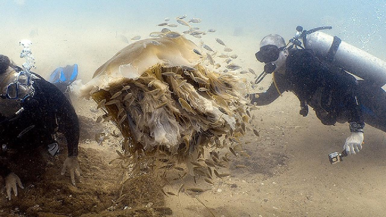 A lion's mane jellyfish in the Seaway, Gold Coast. Picture: Ian Banks, Diving the Gold Coast