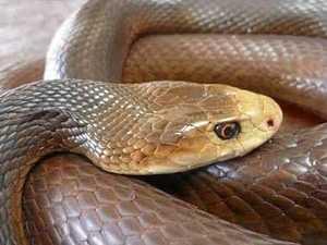 Snake bites a man on Capricorn Coast