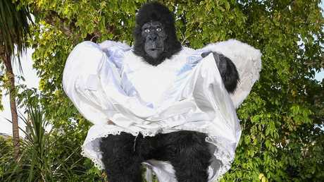 The woman initially thought it was a man in a gorilla suit. PICTURE: IAN CURRIE