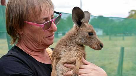 Dr Heather Gray moved to Mungallala in 2017 and transformed the old post office to a cafe with a twist, her passion is providing sanctuary for injured or orphaned joeys