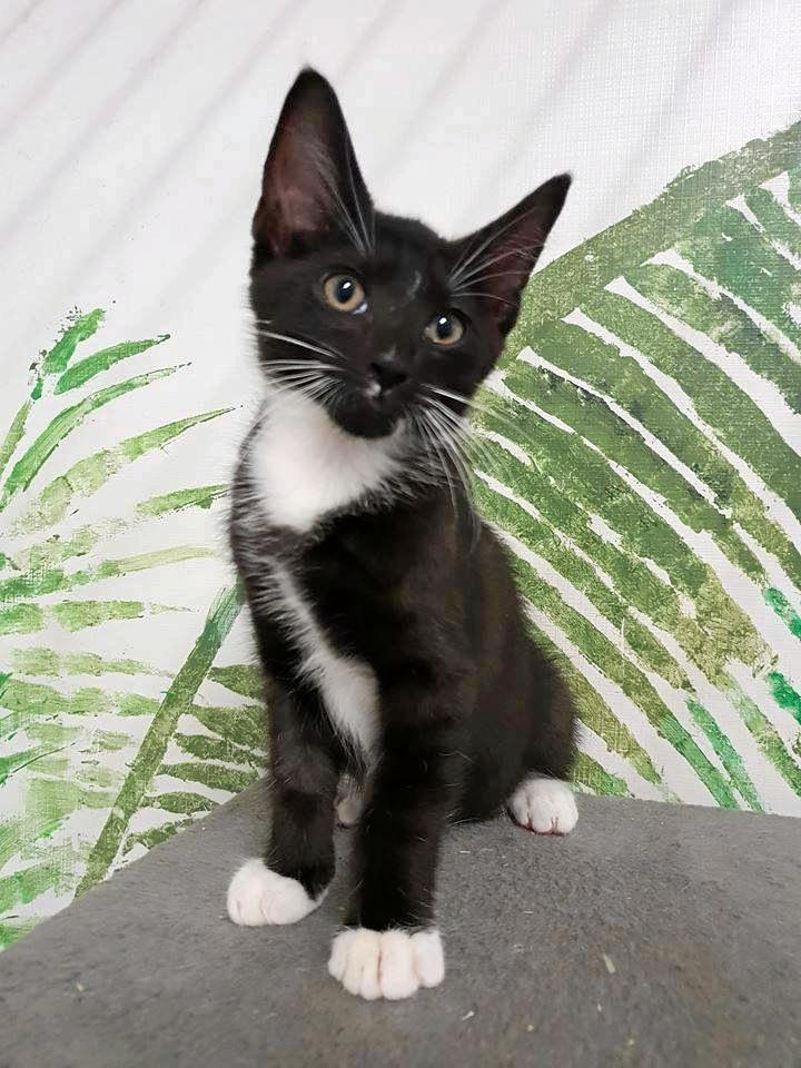 Mike is a playful and sweet little kitten.