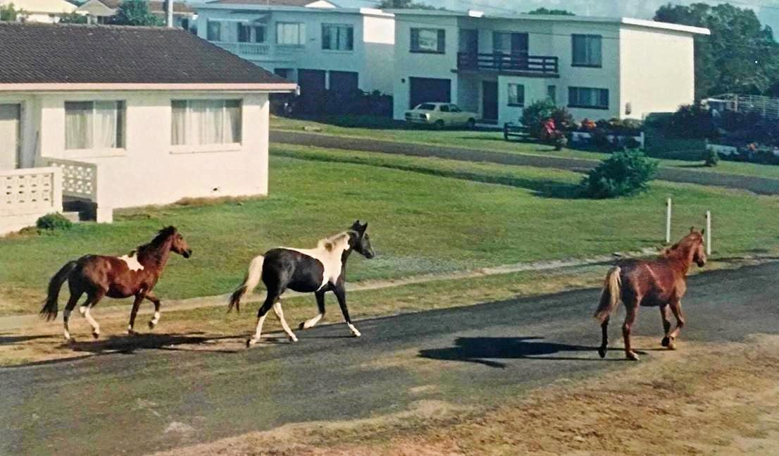 Brumbies run through streets of Brooms Head during the 1960s.