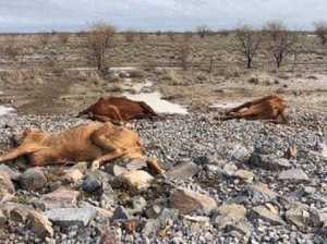 Shocking photos of sea of dead cattle after floods