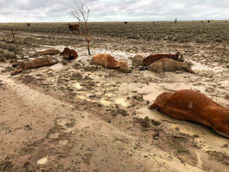 Graziers in North West and Western Queensland have lost large amounts of their stock after catastrophic flooding and unprecedented rain over since the start of the month.