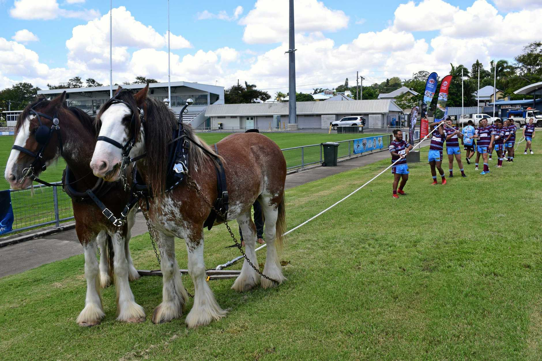 CQ Capras players did a tug-of-war with the Clydesdale horses as part of their pre-season training.