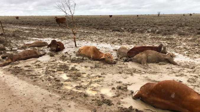Distressing images of dead cattle at Eddington Station 20km West of Julia Creek, Qld in North West Qld following the floods. Photo: Rae Stretton