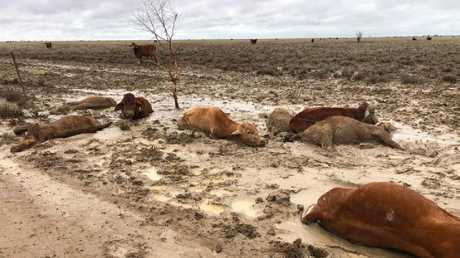Distressing images of dead cattle at Eddington Station 20km West of Julia Creek, Qld in North West Qld following the floods. Picture: Rae Stretton