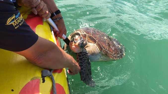 The dead turtle found near Garry's Anchorage near Fraser Island.