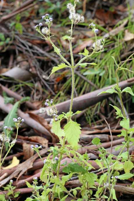 Invasive plant praxelis clematidea.