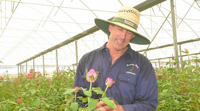 SHOWING THE LOVE: Bundaberg Roses' Francis Hagens admiring some hot pink roses.