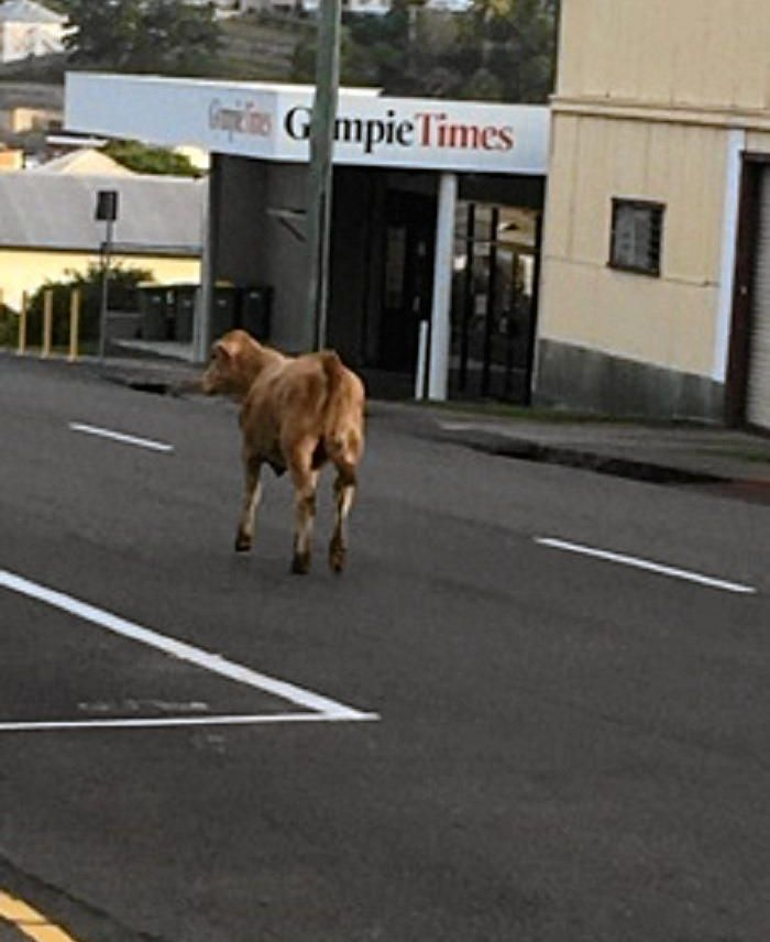 ON THE MOOOOOVE: A 'mad cow' escaped a cattle truck in Gympie, crossing the busy Bruce Highway last night.