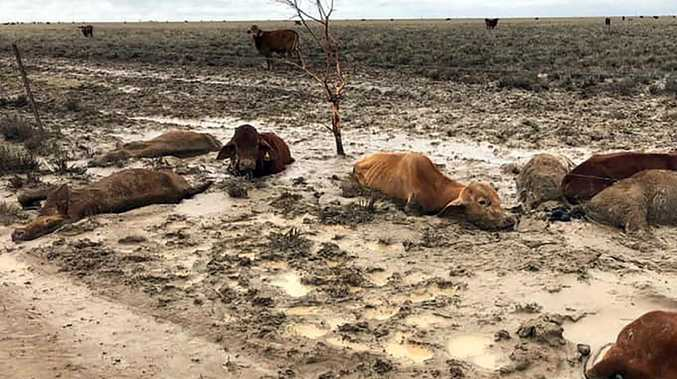 About 500,000 head of cattle has been lost as a result of catastrophic flooding in northwest Queensland. Picture: Anthony Anderson/AFP