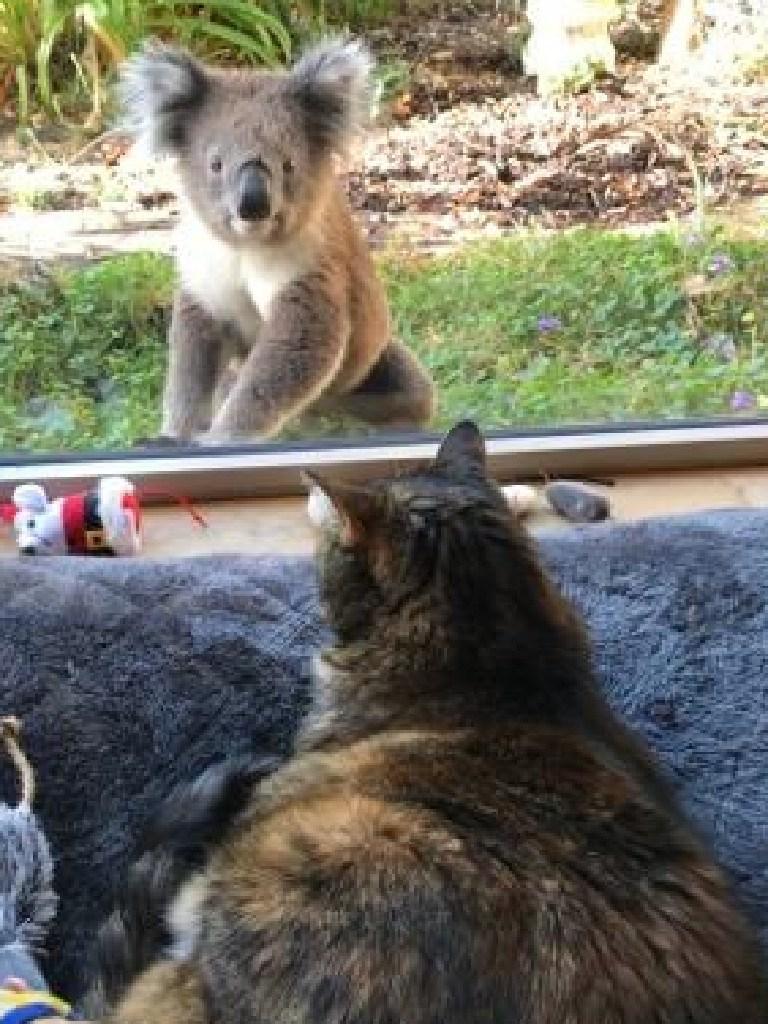 A koala visits a cat in Portland, Victoria. Picture: Jo Isbel