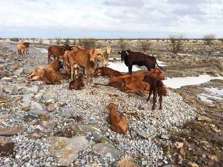 Starving cattle that escaped floods near Julia Creek.