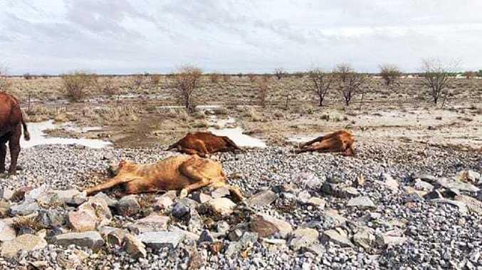 Some of the dead cows found at Eddington Station near Julia Creek.