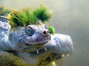New efforts to protect endangered 'punk rocker' turtle
