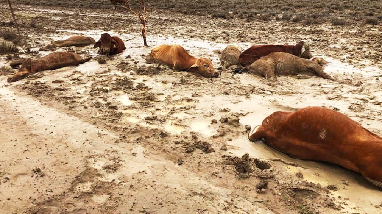 Dead cattle in floodwaters at Eddington Station near Julia Creek.