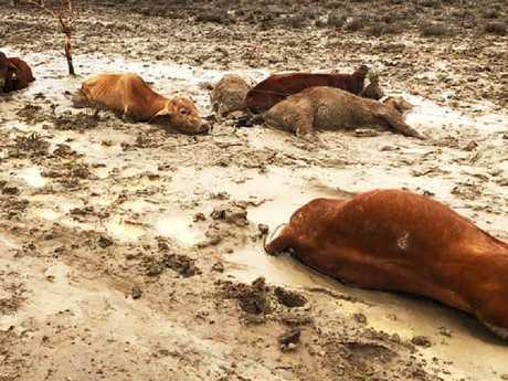 Some of the dead cattle found near Julia Creek. Picture: Rae Stretton