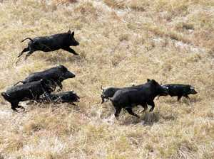 Dumped pig bodies infuriate landowner, risk cattle attacks