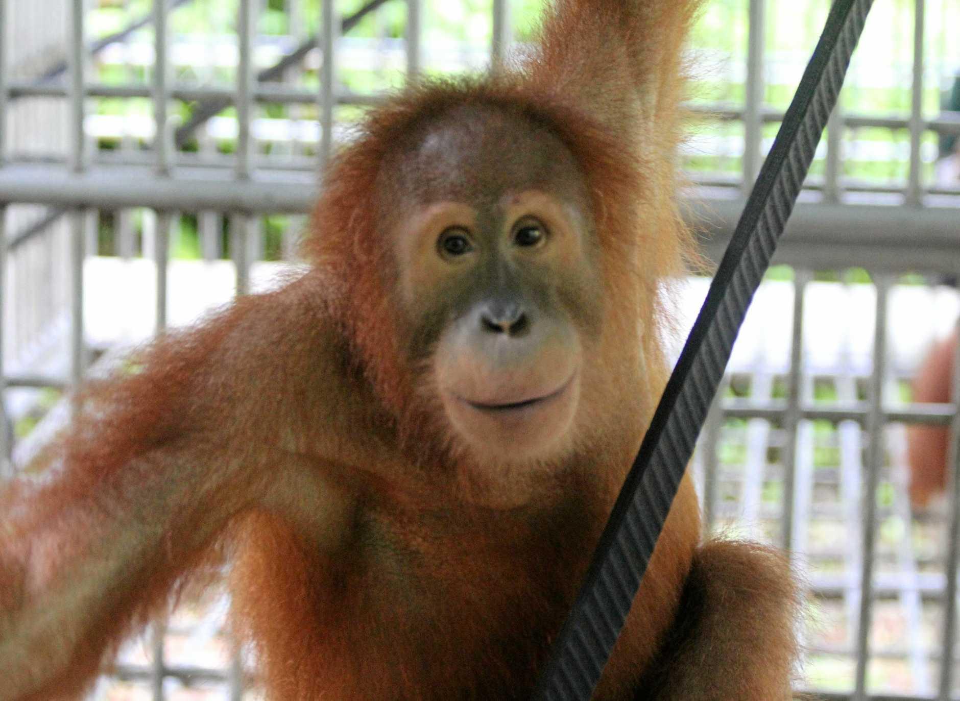 ENDANGERED SPECIES: An orangutan.