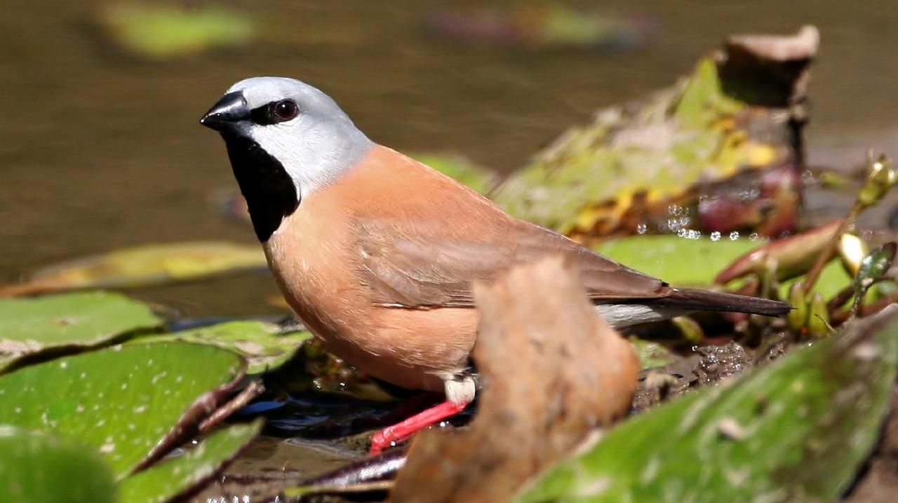 The draft report strongly recommends the project not proceed until Adani radically overhauls its plan to protect the black-throated finch.