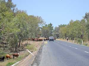 Cattle on the move near Chinchilla weir