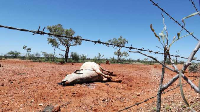 A cow lays dead between Julia Creek and Cloncurry in northwest Queensland. Picture: Nigel Hallett