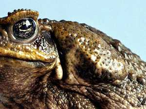 RSPCA says we can no longer kill adult cane toads