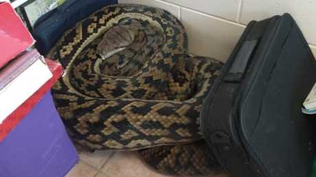 Mission Beach resident Lea-Ann Kennedy made the startling discovery of a massive scrub python in her home on February 15, 2019. The reptile weighed about 40kg and was about 5.5 metres in length. PICTURE: Megan Prouse