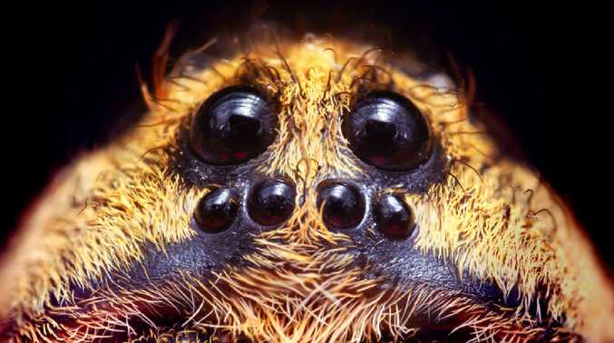 Modern arachnids like the wolf spider (pictured) also have eyes that glow at night.