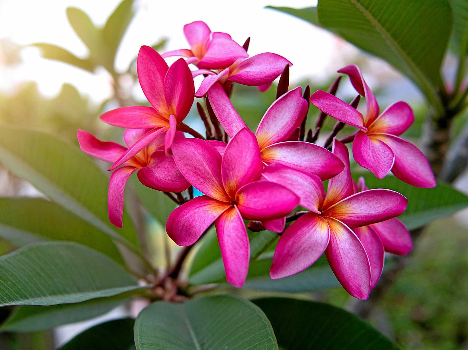 Frangipanis come in a range of colours, from traditional white through to gorgeous pinks.