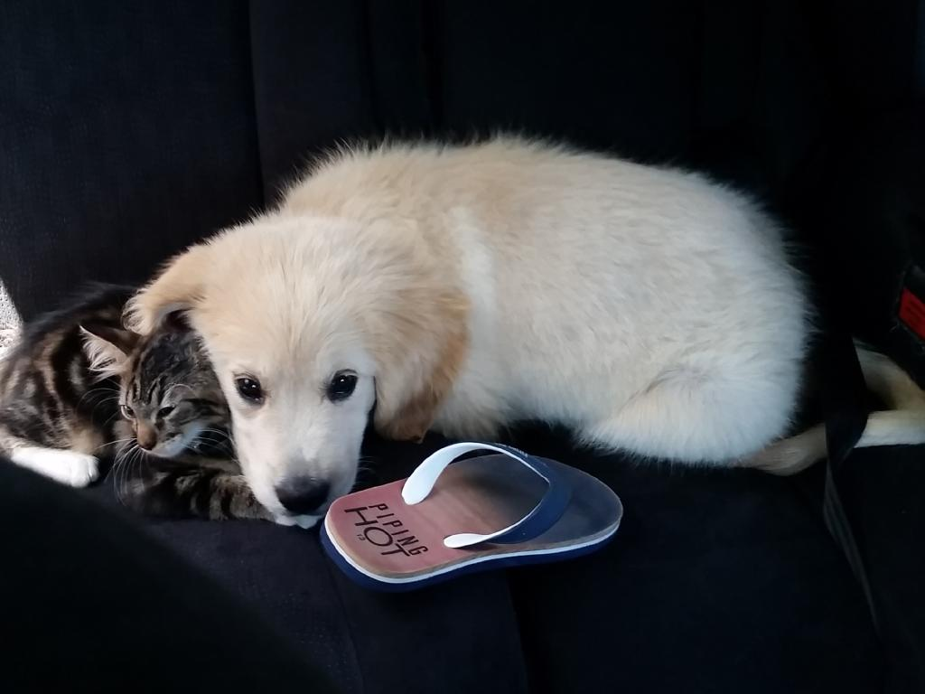 Patapouf the Golden Retriever puppy is lucky to be alive after nearly being eaten by a carpet python for breakfast over the weekend. His best mate, Tigrou the 3-month-old kitten, went with him for support. Photo: The Cogez family.