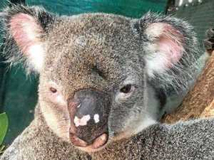 Rescuers call for change after koala killed in brutal attack