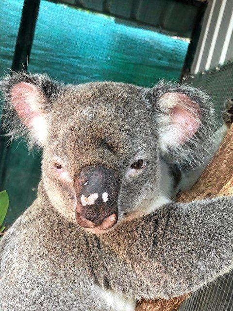 Rescue groups are calling for a change in attitude after Trampy the koala was attacked by off-leash dogs at Tewantin.